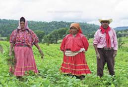 Raramuri family tends to their bean field in Norogachi Chihuahua Mexico